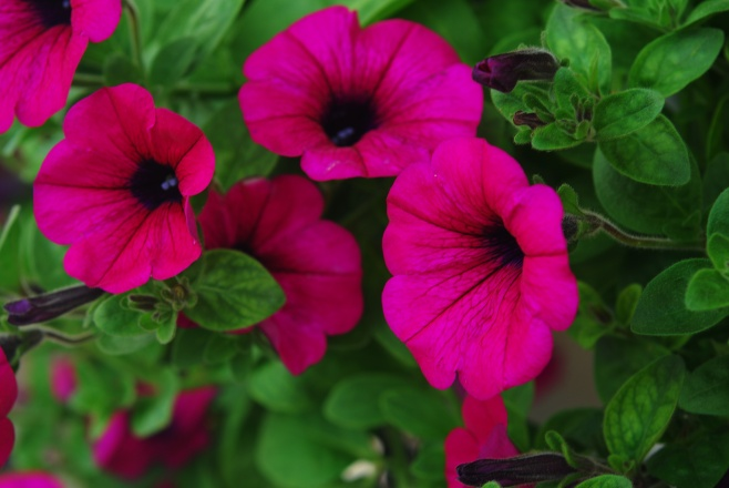 Petunias in a hanging Pot