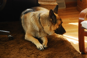 Teddy , German Shepherd