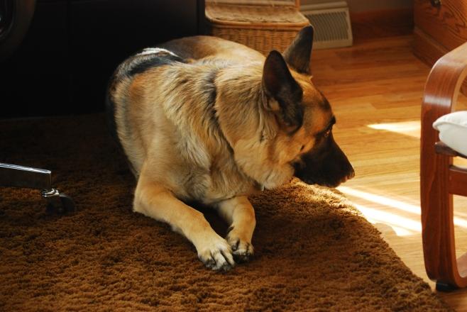 Teddy , German Shepherd