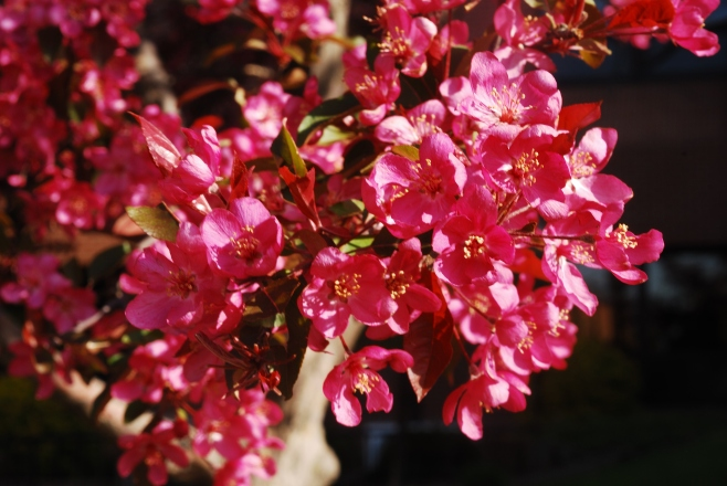 The flowering crab apple blossoms come t\from the south side of Trinity Lutheran on Stewart.