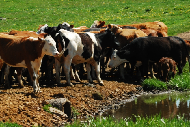 Cows at a waterhole