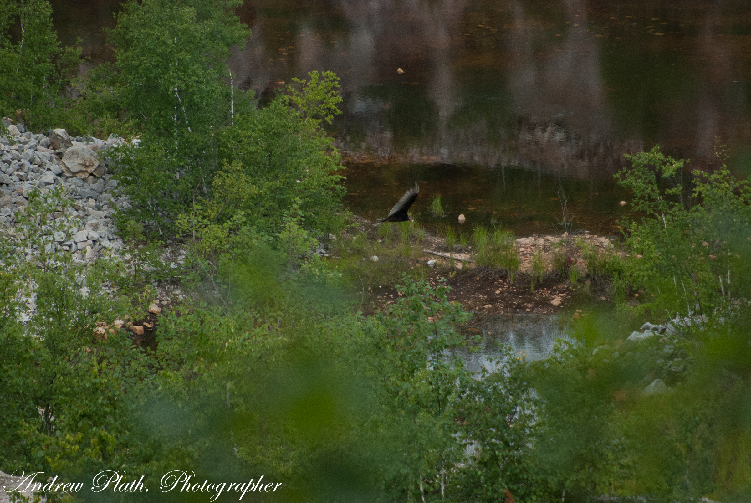 A Turkey Vulture searches for carion in and around the quarry at Rib Mountain State Park