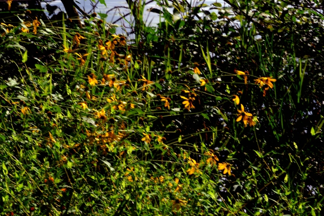 Black-Eyed Susans often line the banks of Wisconsin's Rivers.