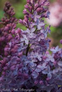 lilacs (1 of 1)-2