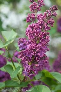 lilacs (1 of 1)